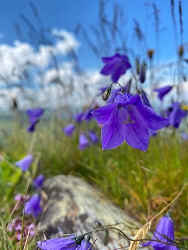 Bergwiesenblumen Schmitten