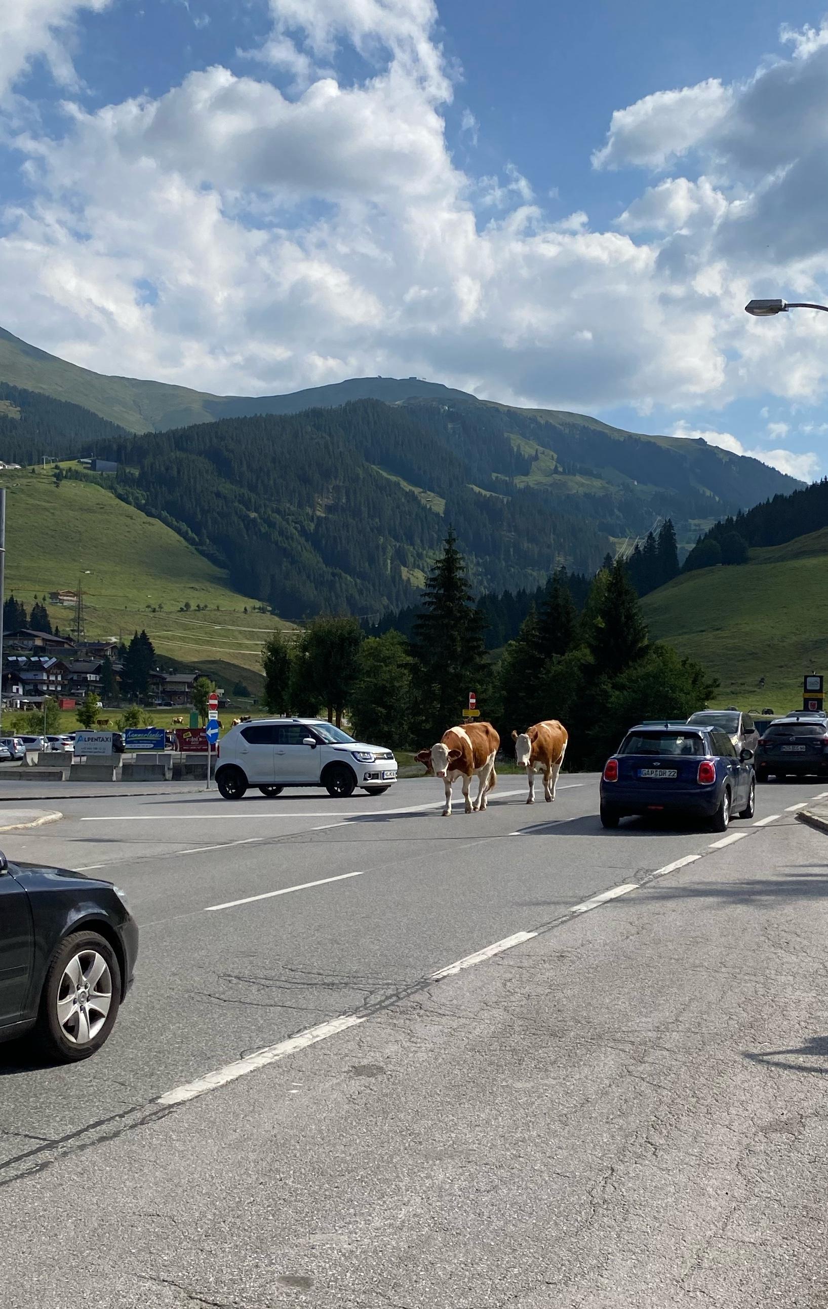 Kühe auf der Straße in Gerlos